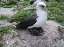 L'albatros Wisdom: resilienza e occasioni perse