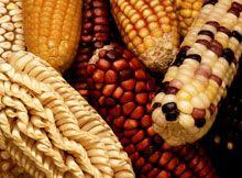 Mai dire mais: l'OGM che fa bene